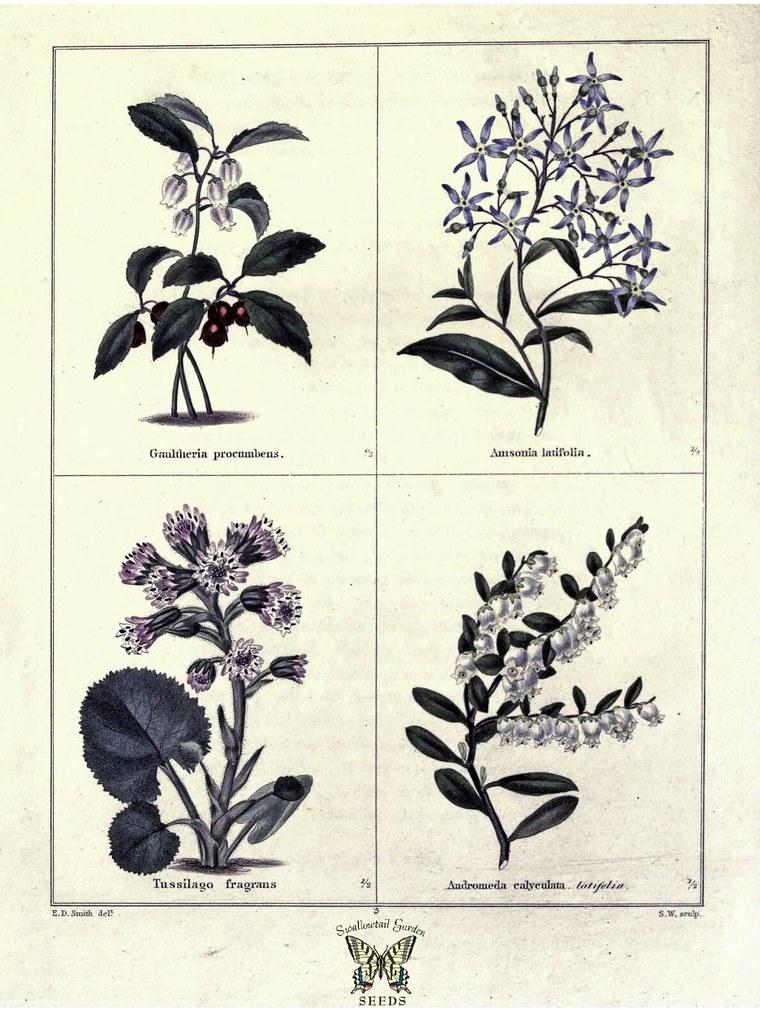 Amsonia Tabernaemontana Seeds Amsonia Tabernaemontana