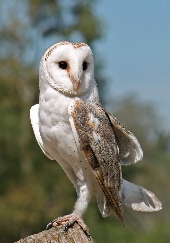 Australian Barn Owl 001 | Photo taken at Fig Tree Pocket ...