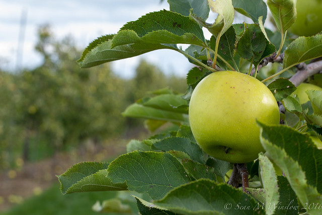 Apples, Fall 2016, Milton, Ontario