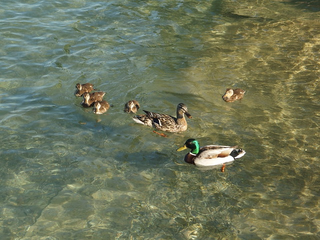 Ducks @ Lake Annecy