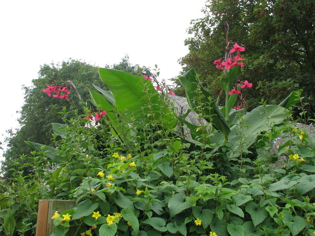 Canna x ehemannii, Caryopteris divaricata & Thladiantha dubia