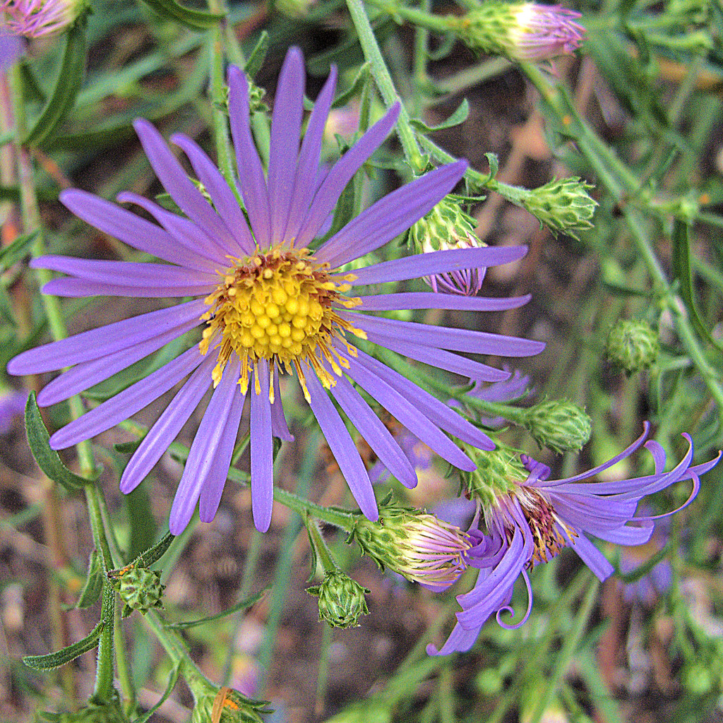 Aster chilense Pacific Aster Seeds now called Symphyotrichum ...
