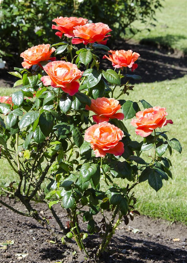 High Quality Livinu0027 Easy Floribunda Rose Bush | Easy Living Is What This U2026 | Flickr