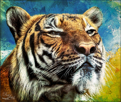 Image of a Malaysian Tiger at the Palm Beach Zoo