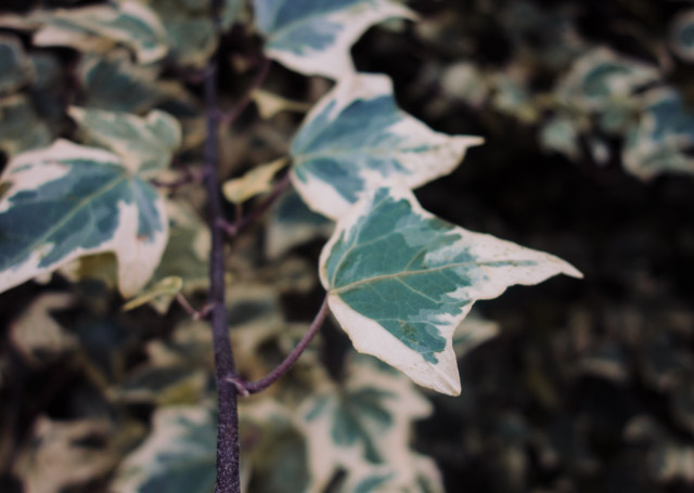 close up of ivy leaf