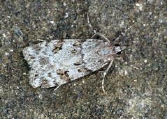 63.066 Meadow Grey - Scoparia pyralella