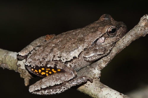 Pine woods tree frog - Camp Blanding