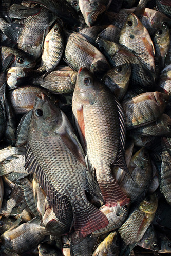 Tilapia fish at a local market in Satkhira, Bangladesh. Photo by M. Yousuf Tushar. April 21, 2014