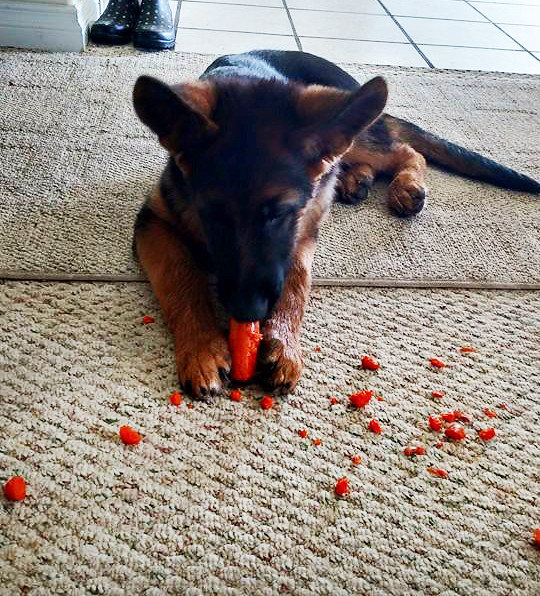 A-T Xander_Chewy_carrots 1