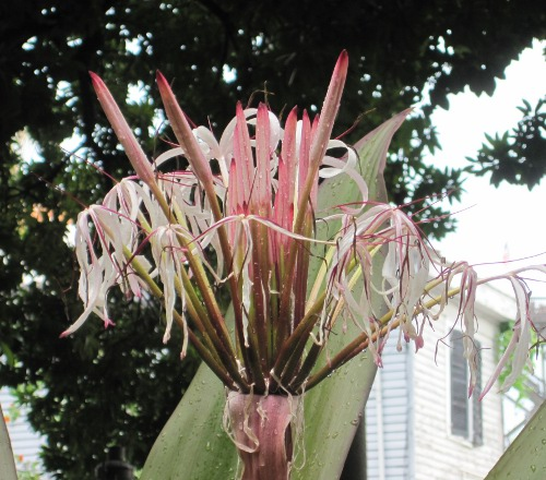 crinum_bloom