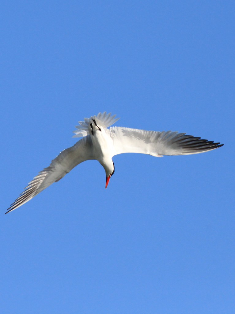 Caspian Tern | Diving ...