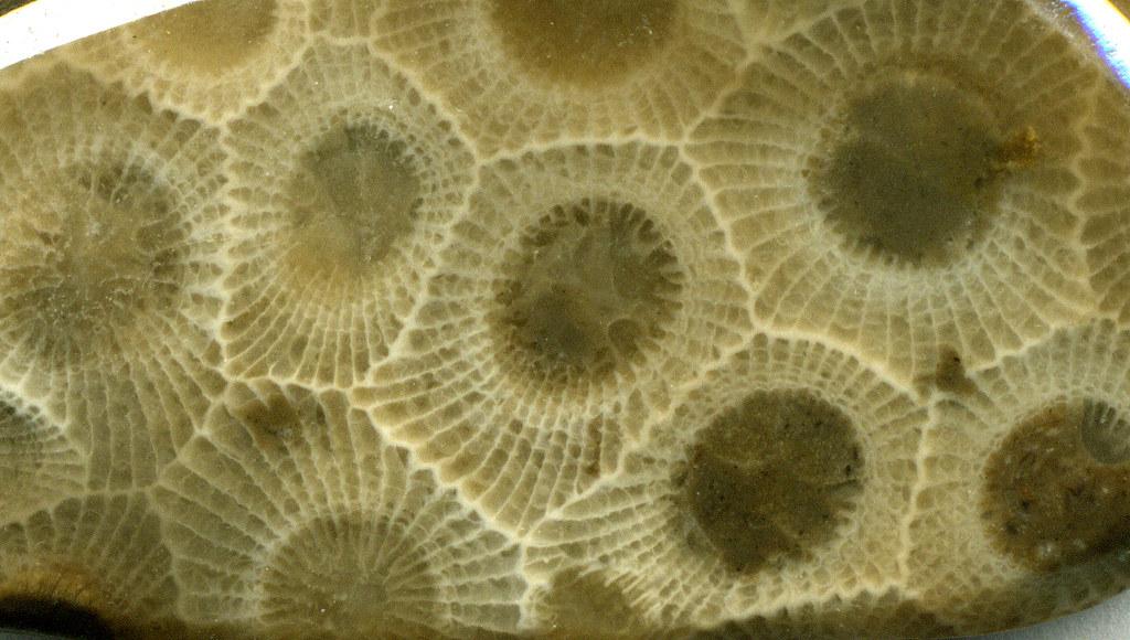 hexagonaria percarinata fossil coral  petoskey stone   tra u2026