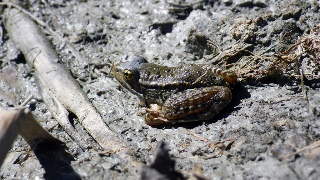 Ca red legged frog mg 43 2 a juvenile california red for California department of fish and wildlife jobs