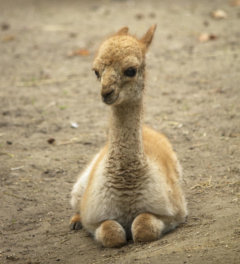Vicuña fawn - Artis Royal Zoo | Artis Royal Zoo ...