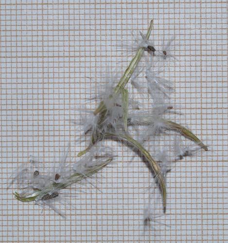 Epilobium canum - fuchsia de Californie 29691592953_4f575c95a9