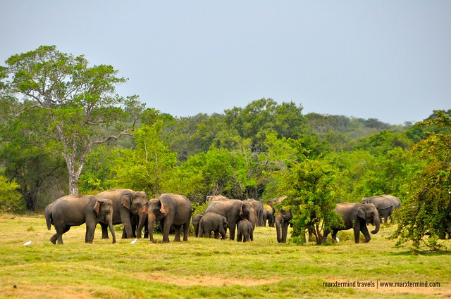 Herd of Elephants at Minneriya National Park