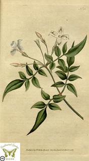 Jasminum officinale, poet's jasmine. Botanical Magazine vol.1, J.Sowerby (1787)