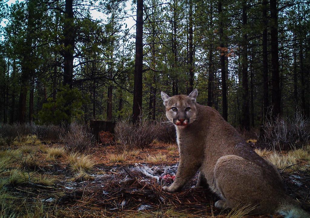 美洲獅,圖片攝於美國奧勒岡州,非屬該研究。圖片來源:Jon Nelson (CC BY 2.0)。