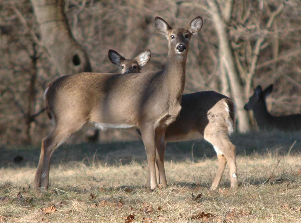 Photo of deer by Michael Douglas