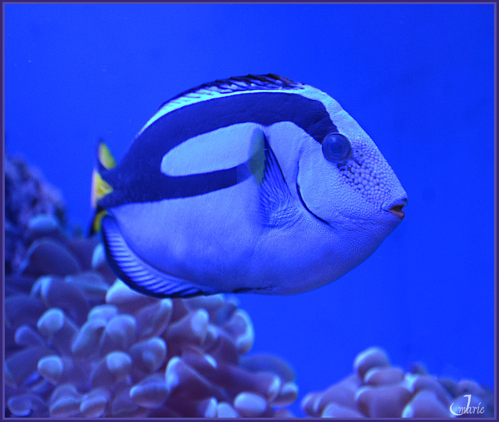 Blue hippo tang saltwater fish jmarie999 flickr for Tang saltwater fish