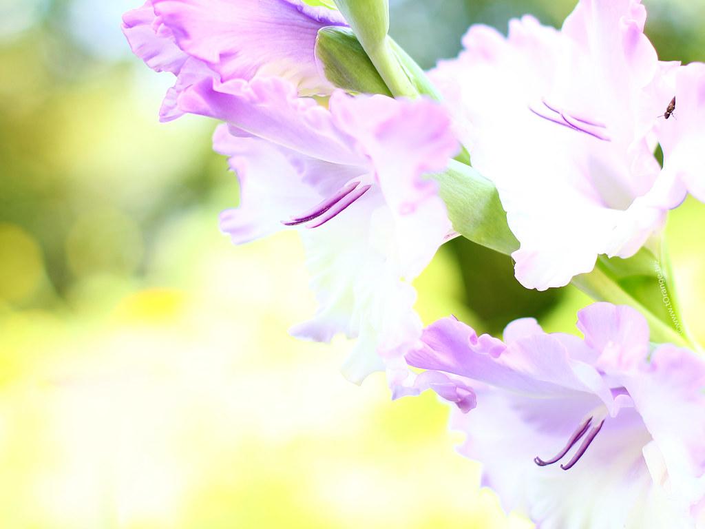 Gladiolus-flower-1600x1200-Desktop-Wallpapers | hd desktop ...