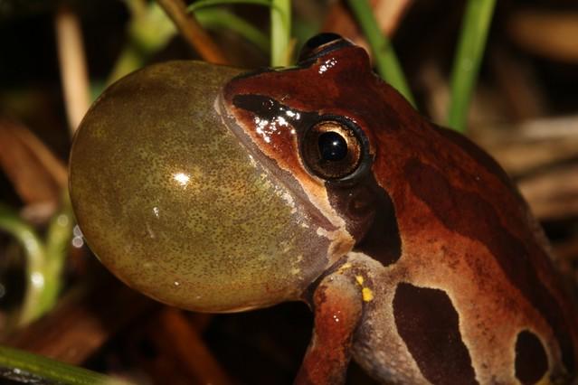 Ornate chorus frog calling