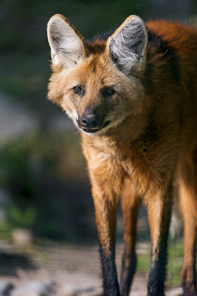 Maned Wolf Standing In The Sun One Of The Maned Wolves