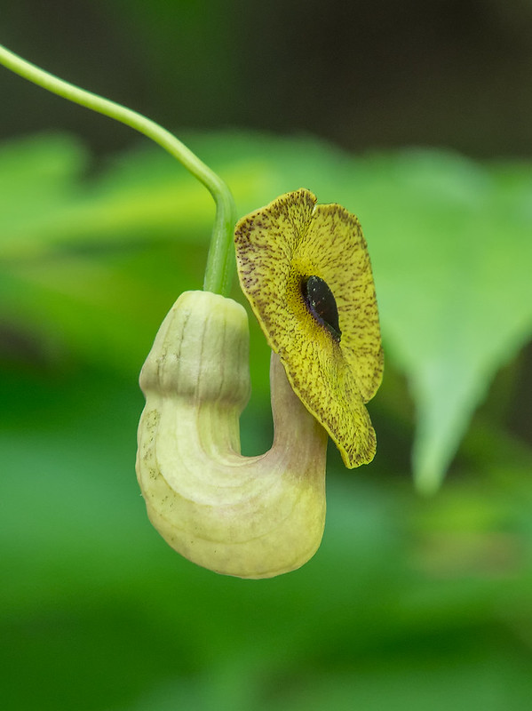 Dutchman's Pipe flower