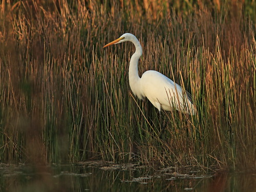 Great Egret 3-20161205