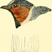 """Image from page 549 of """"The birds of eastern North America : with original descriptions of all the species which occur east of the Mississippi River, between the Arctic circle and the Gulf of Mexico, with full notes upon their habits, etc. ,"""" (1896)"""