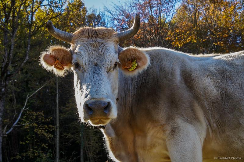 La vaca que no ríe