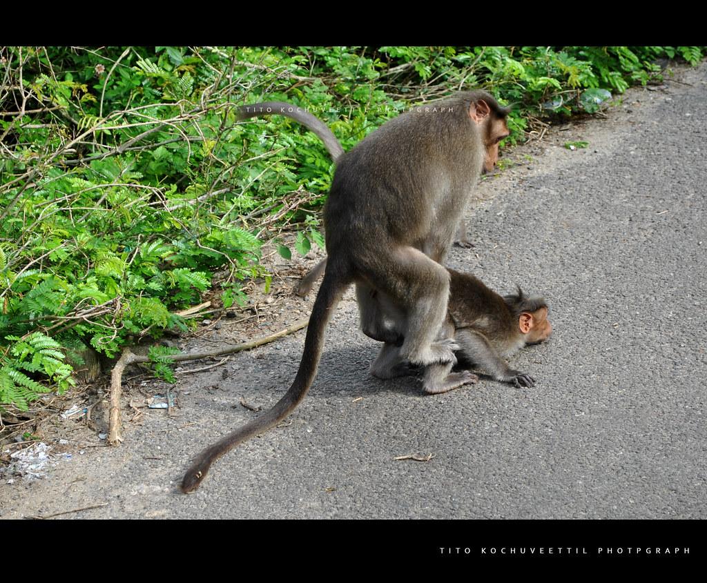Как обезьяны спариваются