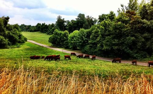 Cattle feeding on grass