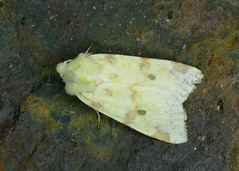 73.182 The Sallow - Xanthia icteritia