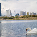 Swan on the Danube with Vienna International Centre in the background