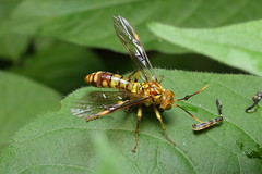 sawfly トガリハチガタハバチ 2014.5.24