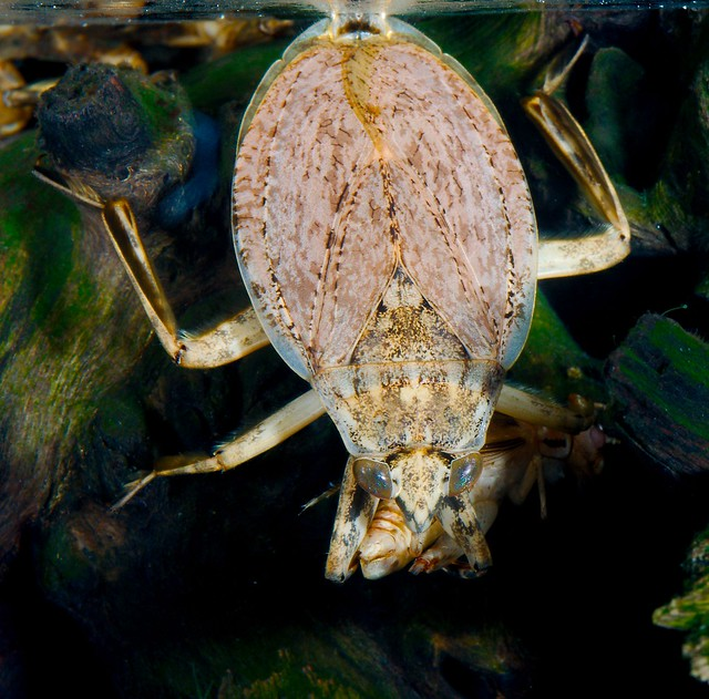 Giant Water Bug feeding on prey under water