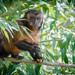 Hooded Capuchin