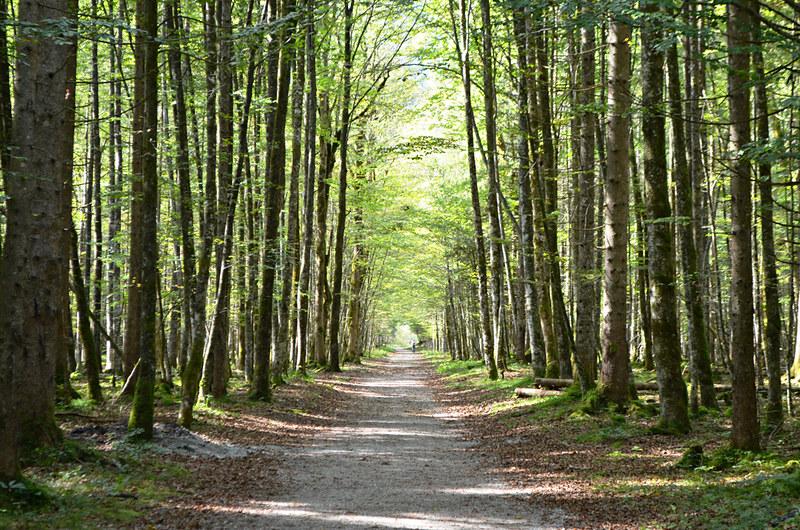 Tree avenue, St Bartholoma, Konigssee, Bavaria