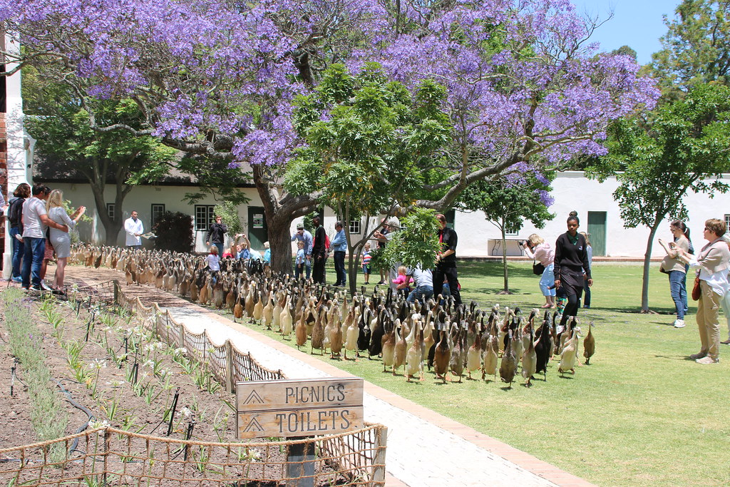 Vergenoegd Wine Estate Duck Parade