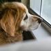 174/365 Window Guard Dog