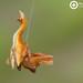Scorpion Spider- Arachnura sp. ♀