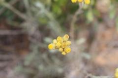 G2- Max Rebenaque- helichrysum stoechas- sempre viva borda (3)