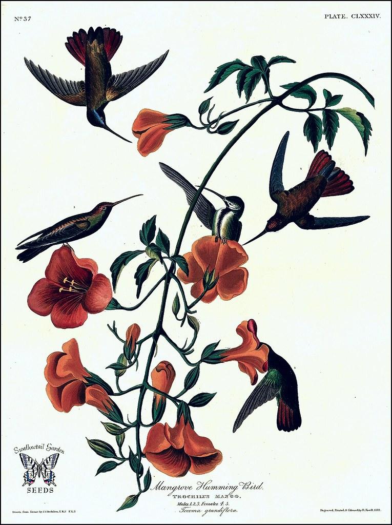 Chinese Trumpet Vine Trumpet Creeper Campsis Grandiflora