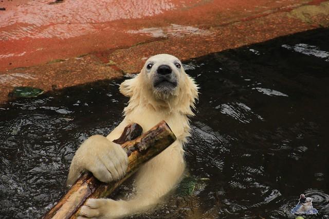 Eisbär Fiete im Zoo Rostock 14.06.2015  50