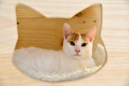 Gary, gatito blanco y naranja cruce Van Turco esterilizado muy activo nacido en Julio´16, en adopción. Valencia. ADOPTADO. 31590422121_172bb21690