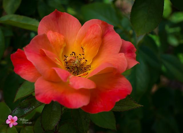 Living Easy Rose | Flickr   Photo Sharing! Living Easy Rose