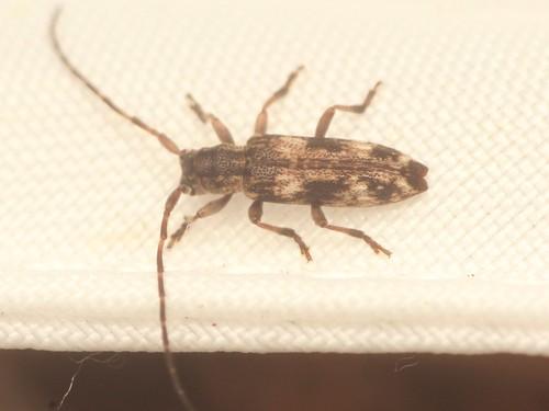 シロオビドイカミキリ2