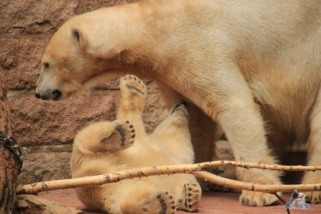 Eisbär Fiete im Zoo Rostock 14.06.2015  170