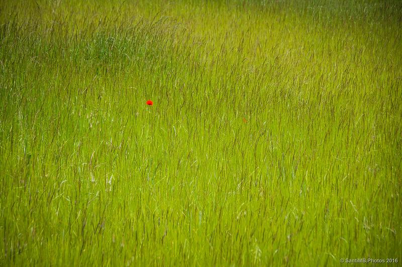 Una amapola solitaria en el Pla de la Teuleria